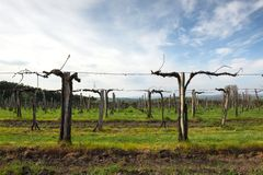 Vineyard with sky Stock Images