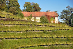 Vineyard, Slovenia Stock Image