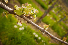 Vineyard in Slovenia in early spring Royalty Free Stock Photo