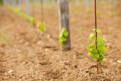 Vineyard in Slovenia in early spring Royalty Free Stock Photography