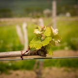 Vineyard in Slovenia in early spring Royalty Free Stock Images