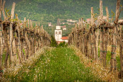 Vineyard in Slovenia in early spring Royalty Free Stock Photos