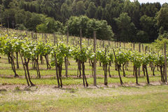 Vineyard in Slovenia Royalty Free Stock Image