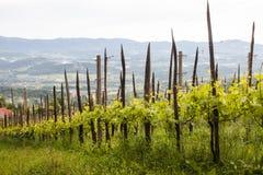 Vineyard in Slovenia in spring Royalty Free Stock Image