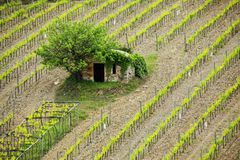 Vineyard with a small farmhouse in Montalcino, Val d `Orcia, Tusc. Any, Italy. Montalcino is famous for its Brunello di Montalcino wine stock images