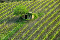 Vineyard with a small farmhouse in Montalcino, Val d`Orcia, Tusc Stock Photo