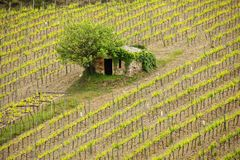 Vineyard with a small farmhouse in Montalcino, Val d`Orcia, Tusc Royalty Free Stock Images