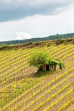 Vineyard with a small farmhouse in Montalcino, Val d`Orcia, Tusc. Any, Italy. Montalcino is famous for its Brunello di Montalcino wine stock photos