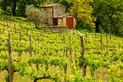 Vineyard with a small farmhouse in Montalcino, Val d`Orcia, Tusc Stock Images