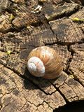 Vineyard Snail. Interesting animals live in our nature. The vineyard snail (in german: Weinbergschnecke) not find often. It is characterized by the size of their Stock Photography