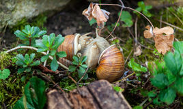 Vineyard snails Royalty Free Stock Photography