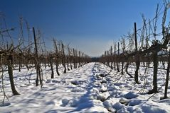 Vineyard in snow Stock Photography