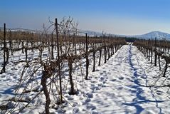 Vineyard at snow Stock Images