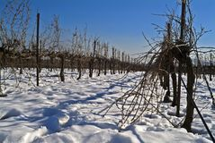 Vineyard in snow. In the Golan Heights, Israel Royalty Free Stock Photo