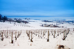 Vineyard in the snow Royalty Free Stock Photo
