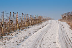 Vineyard with snow in winter Royalty Free Stock Image