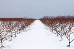 Vineyard during snowstorm Stock Image