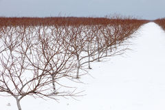 Vineyard on a snowy day Stock Photo