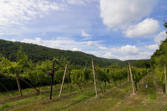 Vineyard Sobes. Vines in a vineyard on a hillside royalty free stock photo