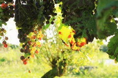 The vineyard Stock Photography
