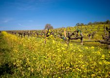 Vineyard in Sonoma, California. Yellow Mustard bloom in a vineyard in Sonoma, California Royalty Free Stock Images