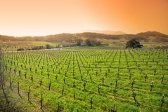 Vineyard in Sonoma, California. A vineyard in Sonoma, California. This shot is processed for sunrise / sunset colors Royalty Free Stock Photos