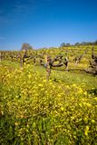 Vineyard in Sonoma, California. Stock Image