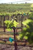 Vineyard in Sonoma Valley Royalty Free Stock Photography