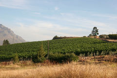 Vineyard of south africa Royalty Free Stock Images