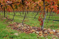 Vineyard, South Africa Royalty Free Stock Images