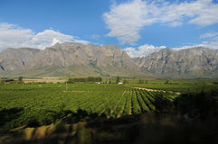 Vineyard in South Africa Royalty Free Stock Image