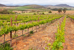 Vineyard in South Africa with rows of plants Royalty Free Stock Images