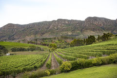 Vineyard South Africa. Wine growing in lines in front of mountains, South Africa stock images