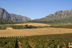Vineyard in South Africa Stock Images