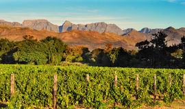 Vineyard in South African Western Cape Stock Image