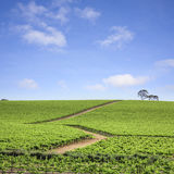 Vineyard South Australia Royalty Free Stock Image