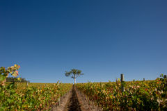 Vineyard in South Australia with gum tree Royalty Free Stock Photography