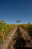 Vineyard in South Australia after harvest Stock Image