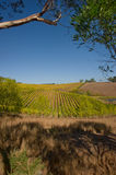 Vineyard in South Australia Royalty Free Stock Photography