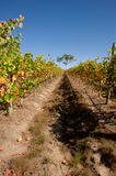 Vineyard in South Australia after harvest Stock Images