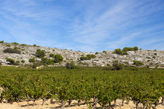 Vineyard in south france Royalty Free Stock Photo