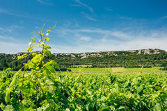Vineyard Of The South Of France. Agricultural Concept Stock Images