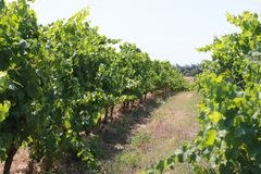 A vineyard in the south of France 2. Another range of vineyard located in Occitanie, south of France, in the summer time royalty free stock image