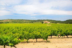 Vineyard in south-France Royalty Free Stock Image