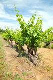 Vineyard in South France Royalty Free Stock Photography