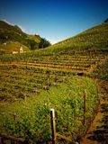 Vineyard in South Tyrol. Panoramic view of vineyard in Bolzano, South Tyrol Royalty Free Stock Images