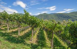 Vineyard,south Tyrolean Wine Route,Italy Stock Images