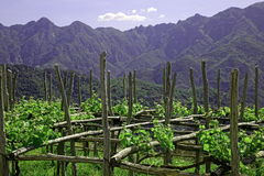 Vineyard. On southern Italy hills Royalty Free Stock Images