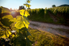 Vineyard in Southwest Germany Royalty Free Stock Image