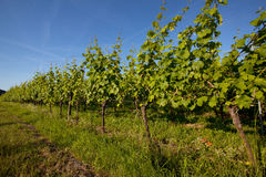 Vineyard in Southwest Germany Stock Images